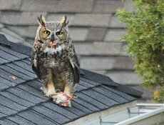 juvenile with dinner on roof 2021.jpg